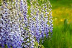 Glyzinie, japanische Glyzinie, hängende weiße blaue purpurrote Blumen Lizenzfreie Stockfotografie