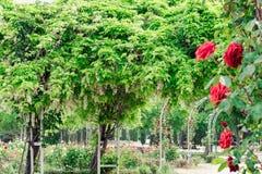 Glyzinie sinensis und rote Rosen in einem Park Lizenzfreie Stockfotos
