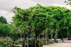 Glyzinie sinensis und rote Rosen in einem Park Lizenzfreie Stockfotografie