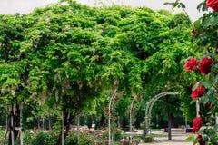 Glyzinie sinensis und rote Rosen in einem Park Stockfotos