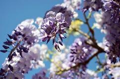 Glyzinie in voller Blüte Stockbild