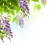 Glyzinieblatt und -blume im Frühjahr Lizenzfreie Stockfotos