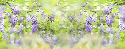 Glyzinien floribunda mit netter Farbe Stockbild