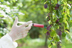 GM fruit. Genetically modified plum. Non-organic fruit Stock Images