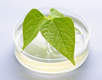 GM plant in petri dish Stock Photo