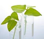 GM plant seedlings in test tubes. Genetically modified plant seedlings in two test tubes Stock Image