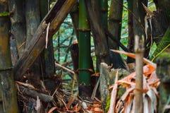 Gmatwanina bambusów liście w naturze zdjęcie stock