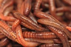 Gmatwanina czerwoni earthworms Zdjęcie Stock