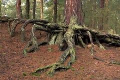 Gmatwanina korzenie drzewo w naturalnym lesie Zdjęcie Stock