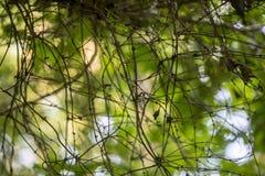 Gmatwanina lasów winogrady Obraz Royalty Free