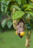 Gmelina philippensis kwiat w ogródzie Zdjęcie Royalty Free