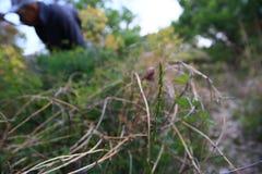 Gmeranie dla świeżego dzikiego asparagusa Zdjęcia Royalty Free