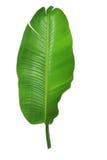 Gömma i handflatan leafen Royaltyfri Foto