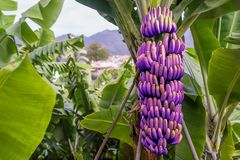GMO基因上修改了香蕉树用紫罗兰色果子 免版税库存照片