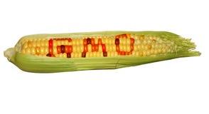 Gmo corn isolated Stock Photos