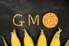 Gmo food concepts with many gold corn. Particles shape and mature maize put on foods in the blackboard background in blank copyspace in the laboratory stock image