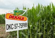 GMO Midwestern USA Corn. Genetically modified Midwestern USA planted corn stock images