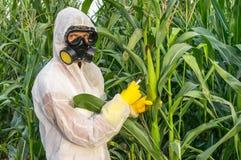 GMO naukowiec genetycznie modyfikuje kukurydzanej kukurydzy w coveralls fotografia royalty free