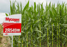 GMO Planted USA Corn. GMO based hybrid corn seed plot in midwestern USA stock photo