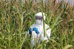 Gmo - profesional die maïskolf op gebied onderzoeken Stock Afbeelding