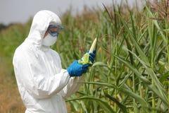 GMO, profesional na espiga de milho de exame uniforme no campo Imagem de Stock Royalty Free