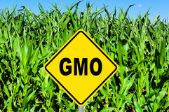 GMO sign. GMO yellow sign with the corn crop in the background royalty free stock photo