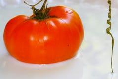 GMO tomat Royaltyfri Foto