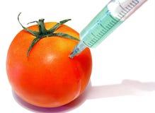 GMO tomato 1. GMO experiment concept Royalty Free Stock Image