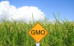 GMO yellow sign with the green paddy rice background Royalty Free Stock Image