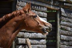 Gnägga brun häst Fotografering för Bildbyråer