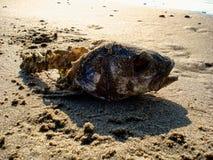 Gnagt fiskhuvud i sanden Royaltyfri Bild