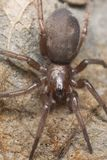 gnaphosidae смололи спайдер stealthy Стоковое Изображение RF