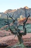 Gnarfled drzewny dorośnięcie na górze Obraz Royalty Free