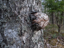 Gnarl σημύδων Στοκ εικόνα με δικαίωμα ελεύθερης χρήσης
