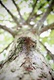 Gnarl av träd uprisen vinkelsikt Royaltyfri Fotografi