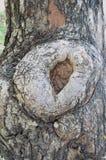 Gnarl drzewo Zdjęcia Stock