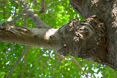 Gnarl på tree_2 Arkivbilder