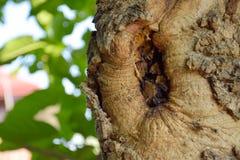 Gnarl på tree_1 Royaltyfri Fotografi