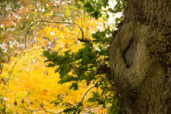 Gnarl tree. Autumn. Beautiful contrast with the yellow leaves in the background. Gnarl tree. Autumn Royalty Free Stock Images