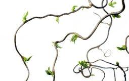 gnarled ветви Стоковое Изображение