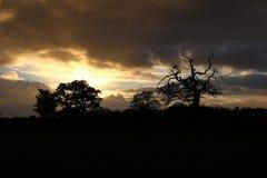Gnarled дерево на заходе солнца Стоковая Фотография RF