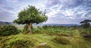 Gnarled дерево падуба Стоковые Изображения RF