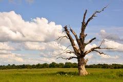 Gnarled дерево Стоковые Изображения