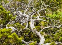 Gnarled дерево Стоковое Изображение RF