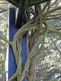 Gnarled и переплетенные ветви лозы Стоковые Изображения