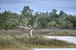 Gnarled мертвый скелет дерева в охраняемая природная территория соленом болоте, острове Pickney национальная, США Стоковые Изображения RF