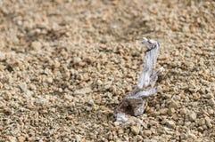 Gnarled сухая хворостина сосны стоковое изображение rf