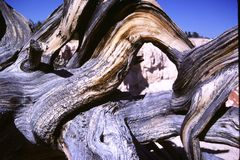 Gnarled branches of a Bristlecone Pine tree. In Zion National Park, Utah, USA n Royalty Free Stock Photos