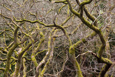 Gnarled branches of many trees Royalty Free Stock Photography