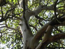 Gnarled branches Royalty Free Stock Image